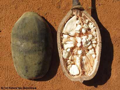 Baobab-frucht-abnehmen