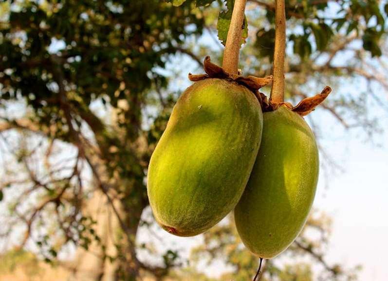 Baobab Frucht Hilft Baobab Pulver Beim Abnehmen Gesund Abnehmen